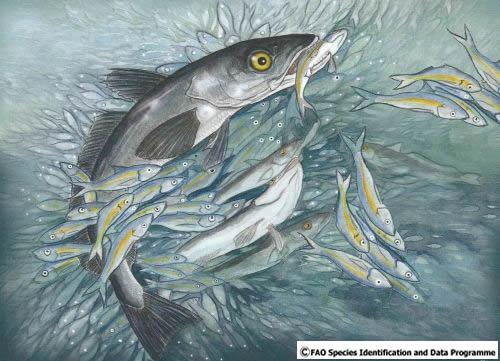 #8. La merluza de pincho. Familia merlucidae