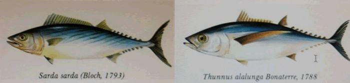 #4. ¿El Bonito del Pais vasco y el de Mallorca son la misma especie?. Familia scombridae