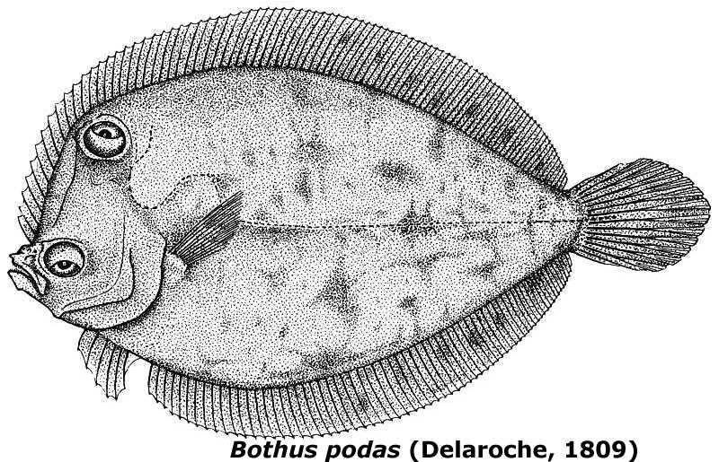 #29. Bothus podas (Delaroche, 1809), un pez bautizado a principios del siglo XIX en Ibiza con nombre acuñado en Menorca a mediados del siglo XVIII