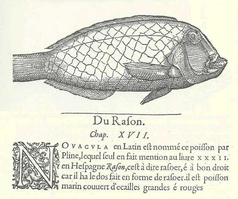 #30. Una cita del raor (Xirichtys novacula) de Mallorca en un texto de 1554