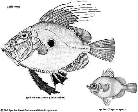 #32. ¿El gall de Sant Pere es un pez plano?