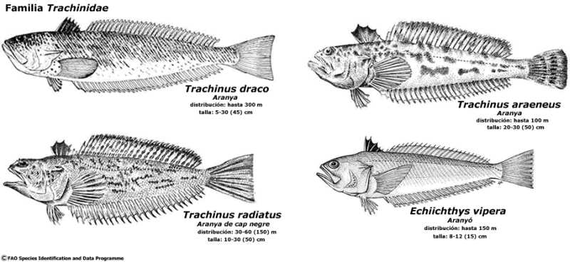 trachinidae_jpg