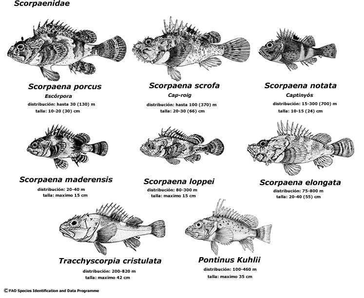 scorpaenidae sin serra imperial jpg