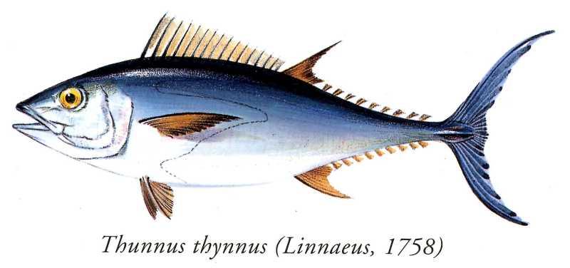 #38. Sobre el atún rojo. Thunnus thynnus