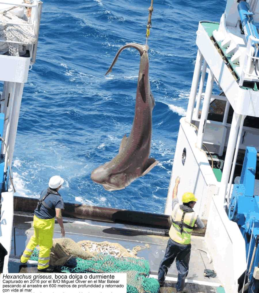 #54. Tiburones y rayas del Mar Balear. Clase elasmobranquios