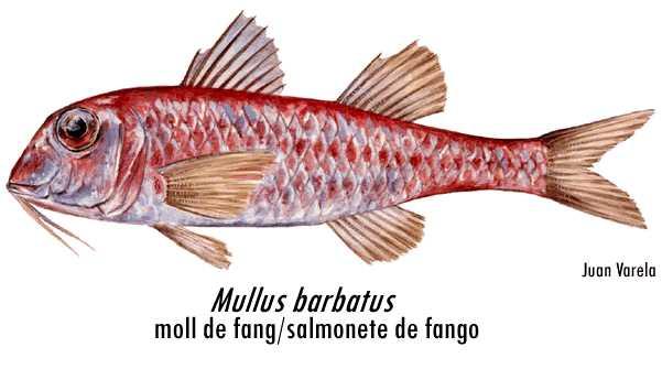 #70. Molls o salmonetes, un pescado clásico del Mediterráneo a no confundir con las triglas. Familias mullidae y triglidae