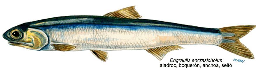 #71. Sardina y aladroc/anchoa/boquerón, peix blau/pescado azul. Orden clupeiformes